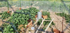 Neu – Hühner im Paradies Garten Maroni