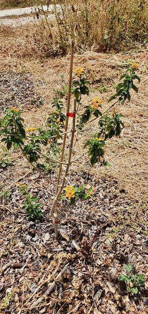 Duftverbene, eine wunderbare Pflanze im ParadiseGarden
